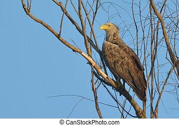 White Tailed Eagle on a tree