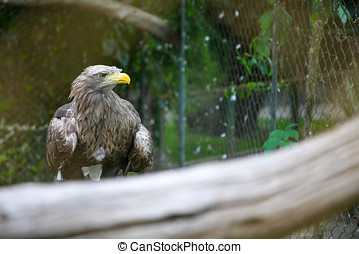 White tailed eagle on branch in zoo