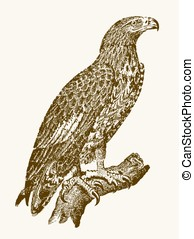 White-tailed eagle or gray sea eagle (haliaeetus albicilla) in profile view sitting on a branch