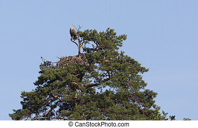White-tailed eagle sits on a tree against the sky