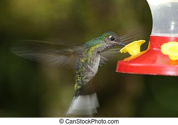 White-tailed Emerald Hummingbird, Costa Rica