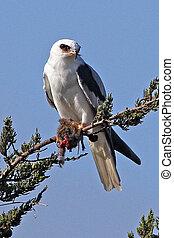 White-tailed Kite with kill 1