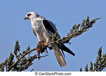 White-tailed Kite with kill 2