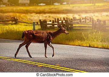 White-tailed or Virginia deer, crossing road in US