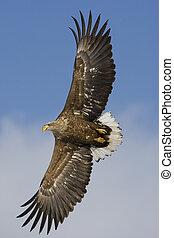 White-tailed sea-eagle, Haliaeetus albicilla - White-tailed...