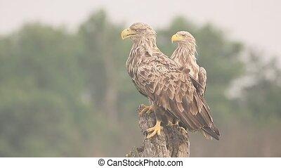 White-tailed sea-eagle, Haliaeetus albicilla, Two birds on...