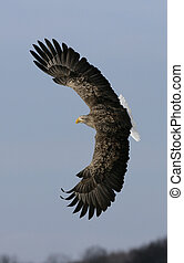 White-tailed sea-eagle, Haliaeetus albicilla, single bird in...