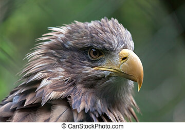 White-tailed Sea Eagle (Haliaeetus albicilla)