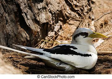 White-tailed Tropicbird (Phaethon lepturus) on the nest, ...