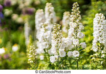 White tall Delphinium flowers in bloom with defocused background