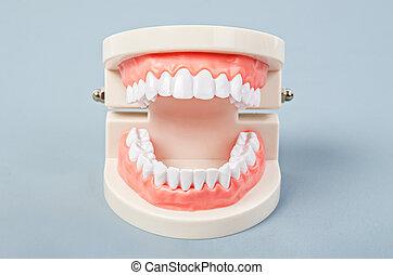 White teeth model.
