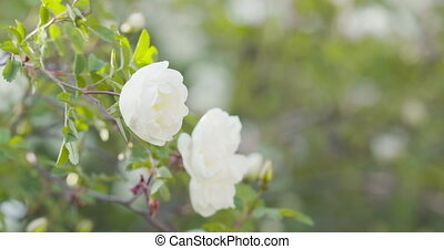 white tender rose flowers on briar bush focus pulled, 4k prores footage
