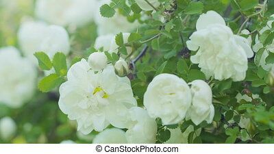 white tender rose flowers on briar bush pan move, 4k prores footage