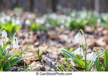 White tender snowdrops in the spring forest on sunrise