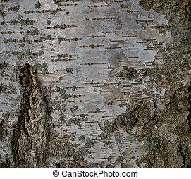 White texture of birch bark tree in park