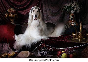 White thoroughbred Afghan hound dog - White thoroughbred...