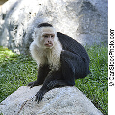 White-Throated Capuchin Monkey Sitting On A Stone
