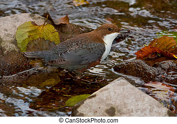 White-throated Dipper (Cinclus cinclus) with larva in his...