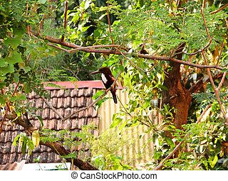 White throated kingfisher - White-throated kingfisher...