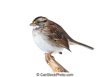 White-throated Sparrow (Zonotrichia albicollis) on a branch...