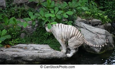 White tiger defecating