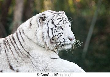 White tiger head - Portrait of white tiger