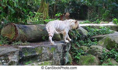 White tiger in zoo - White tiger in Singapore Zoo