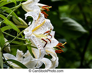 White tiger lilies in a Japanese forest 1