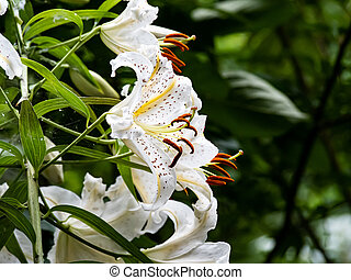 White tiger lilies in a Japanese forest 2