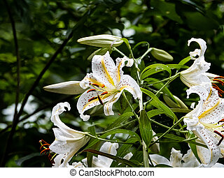 White tiger lilies in a Japanese forest 3