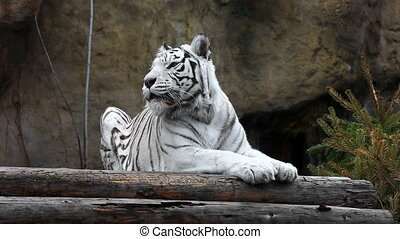 White tiger lying and relaxing outdoors - Black and white...