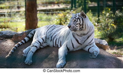 White Tiger Lying Down On Ground - Beautiful White Tiger...