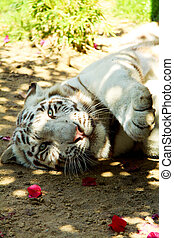 White tiger lying down