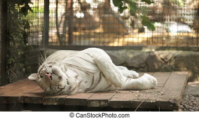white tiger lying on its side in the afternoon at the zoo