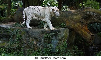 White Bengal tiger, nervously pacing the edge of a rock slab in his habitat enclosure at a popular publlic. UltraHD video