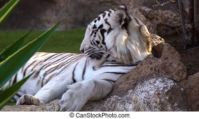 white tiger resting in national park