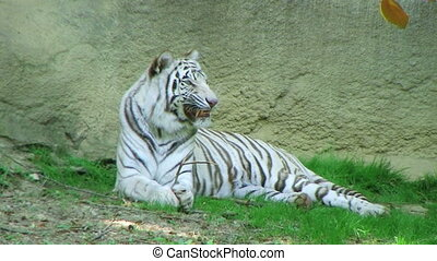 White Tiger - White tiger with something stuck in his teeth.