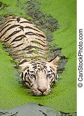 White tiger swimming
