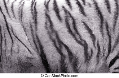 White tiger - The image of fur of a white tiger