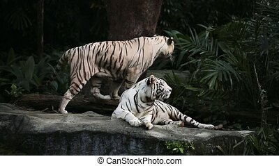 White tigers in zoo - Couple of white tigers on the rock on...