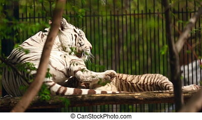 White tigress and cub - White tigress with cub playing.