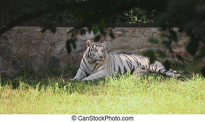 White tigress with cub - Gorgeous white tigress with her...