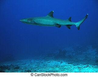 White-tip Reef Shark Swimming, Sipadan, Borneo, Malaysia