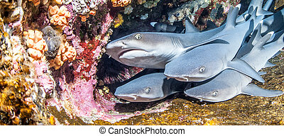 White tip reef sharks - Picture shows white tip reef sharks