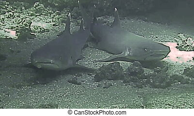 White tip reef sharks resting on sea bed