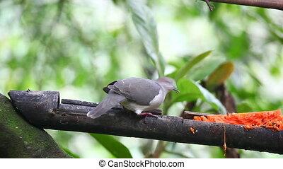 White-tipped Dove, Leptotila verreauxi, eating fruit at a feeder