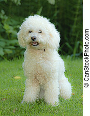 White toy poodle - white toy poodle sitting outside