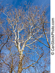 White tree against blue sky
