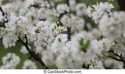 White tree blossoms - Rack focus through tree branches full...