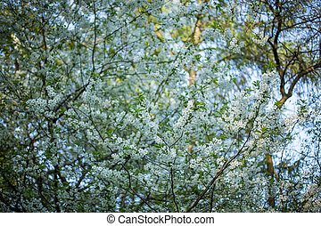 White tree flowers in spring - Tree brunch with white spring...